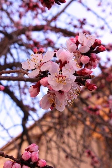 桜みたいな杏の花