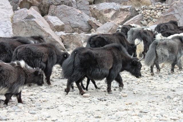 ヤクと牛の間の動物(現地語でゾ)
