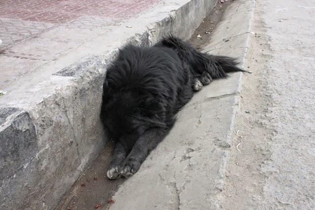 五体投地のポーズで寝る犬
