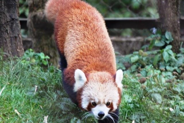 ダージリン動物園にいるレッドパンダ
