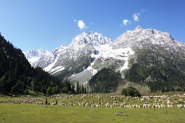 大量の羊と遊牧民