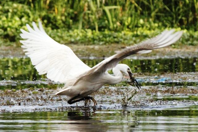 渡り鳥のシラサギが獲物を獲得しました