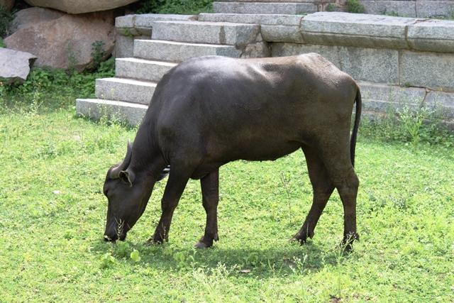 麓にいた水牛