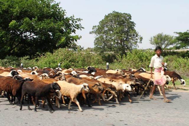 途中の道にいたヤギの集団