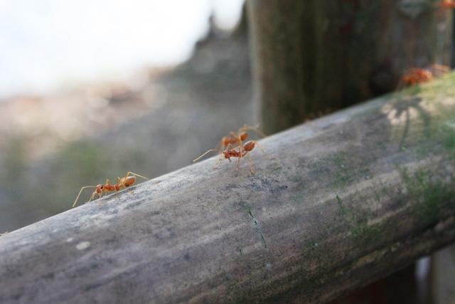 赤アリの行列