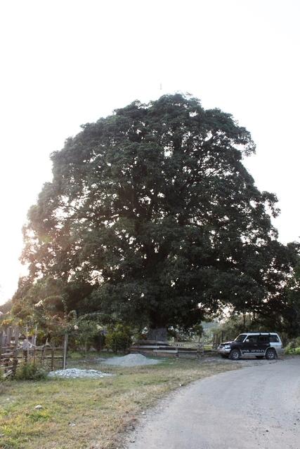 寺院の前の巨大なマンゴーの木
