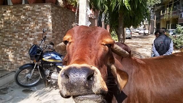 インド 都会 牛