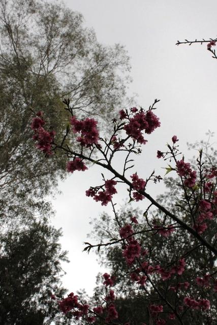 開花していた桜