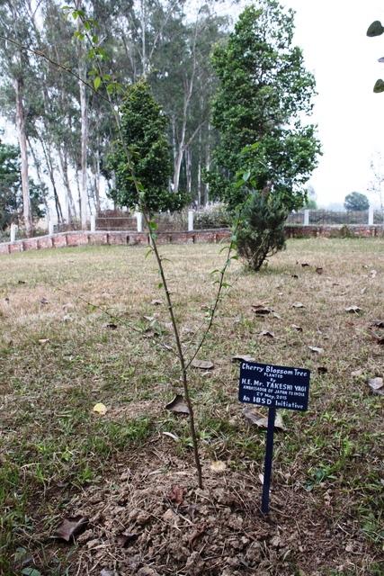 八木大使が植えられた桜の木