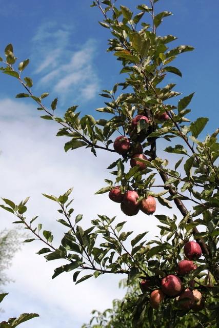 カルパのリンゴ