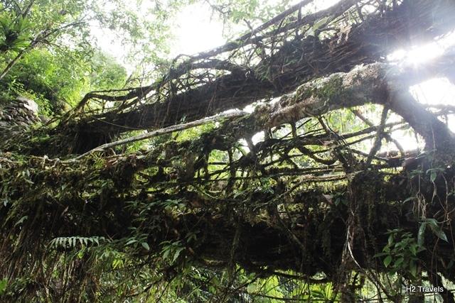 ダブルデッカーの生きた木の橋