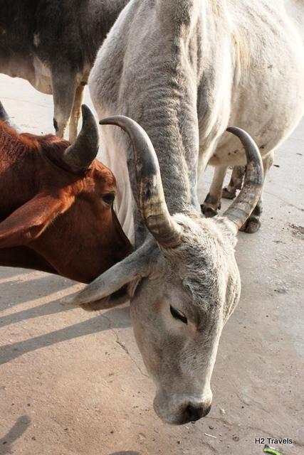仲の良い牛の愛情