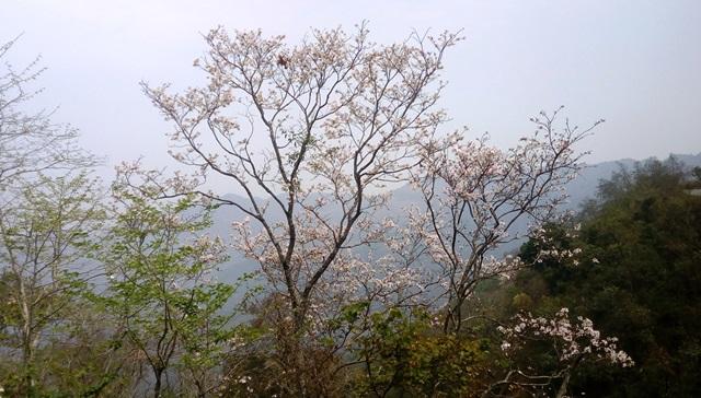 アラカンの桜