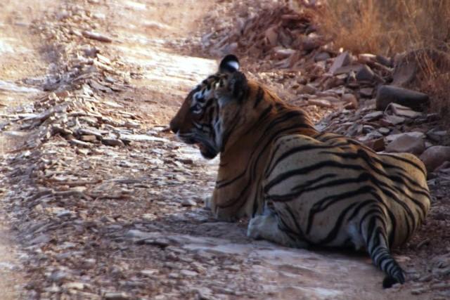 野生の虎@ランタンボール国立公園