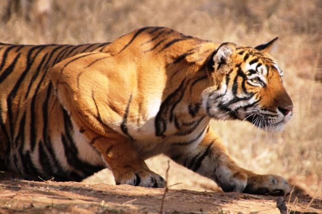 ランタンボール国立公園 トラ:狩りを仕留める直前かな
