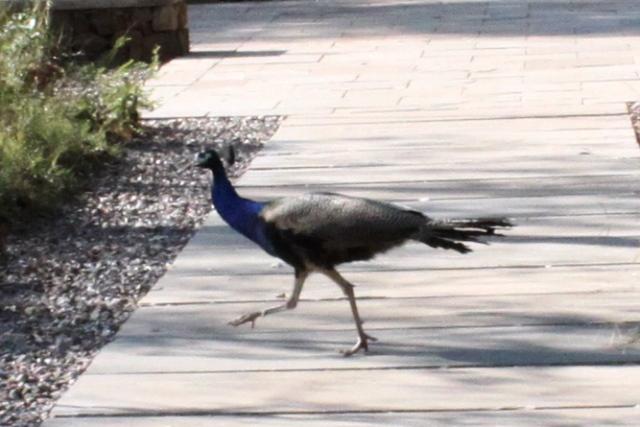 敷地内を出歩く孔雀