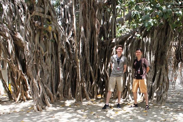 昔からある校庭のガジュマルの木