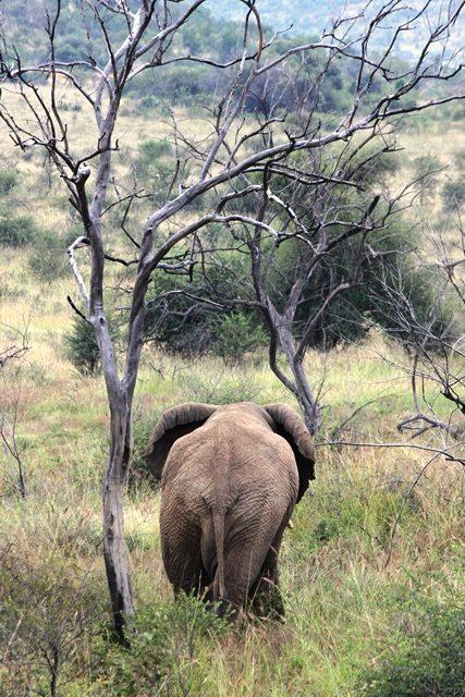 今度は象の尻
