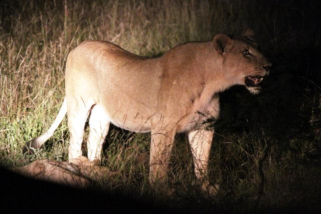 野生のライオン!