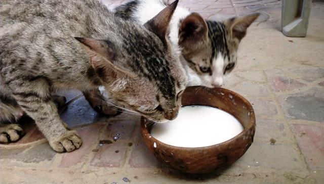 インド 野良猫:牛乳を与える