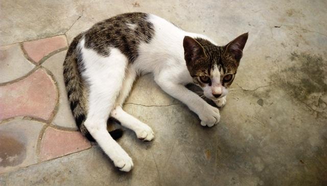 インド 子猫:成長している子猫