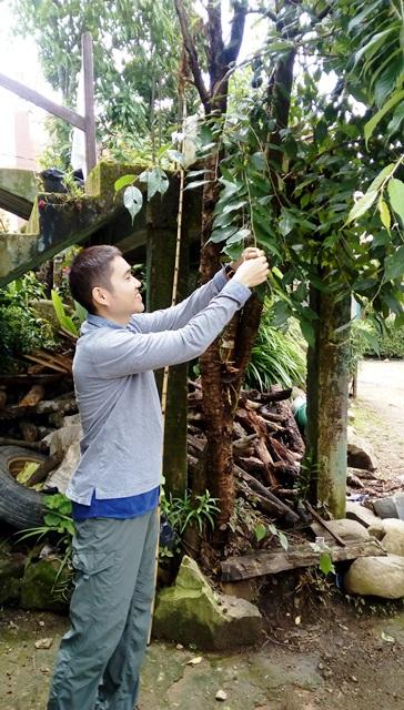 村長家のサクランボの木