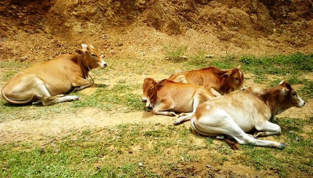 付近にはのどかに牛が