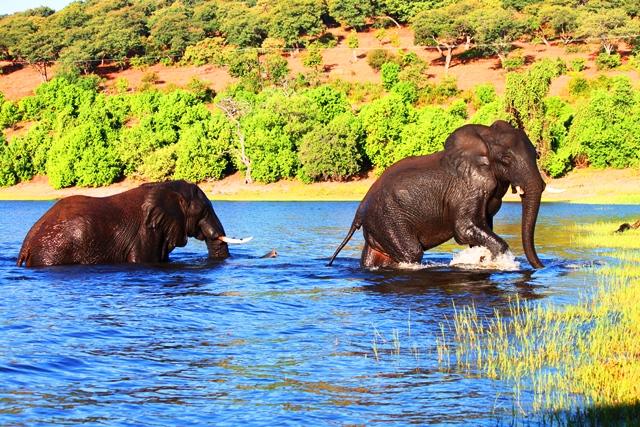チョベ国立公園の象